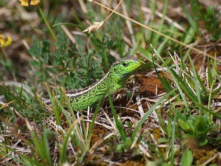 Lizard, Animal, Reptile, Nature, Emerald Lizard, Summer