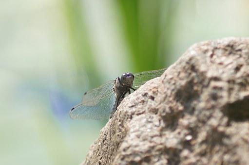 Dragonfly, Stone, Bank, Summer, Nature, Water, Insect