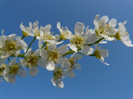 Common Bird Cherry, Black Cherry, Tree, Flowers, White