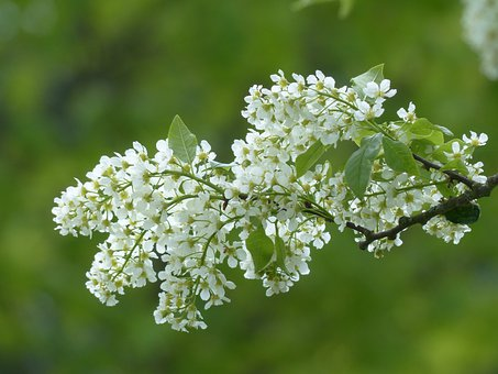 Flowers, Common Bird Cherry, White, Leaves, Branch