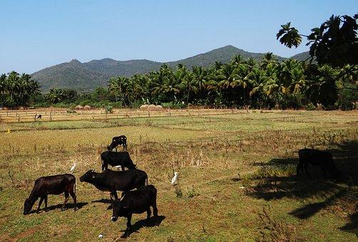 Cows, Cattle, Bovine, Species, Black, Livestock