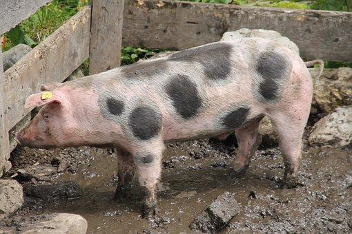 Pig, Domestic Pig, Farm, Livestock, Mountain Cattle