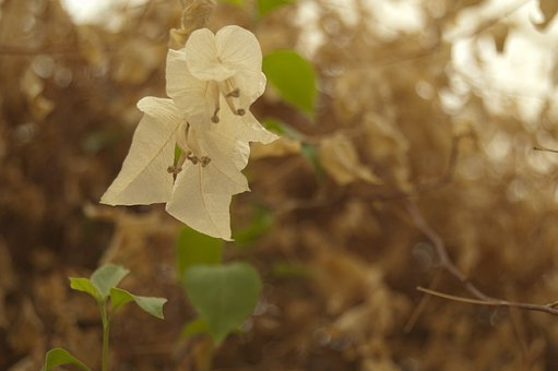 Bougainvillea, White, Flowers, Sepia, Visual, Effects