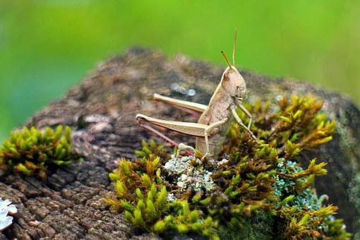Caelifera, Grasshopper, Field Grasshopper