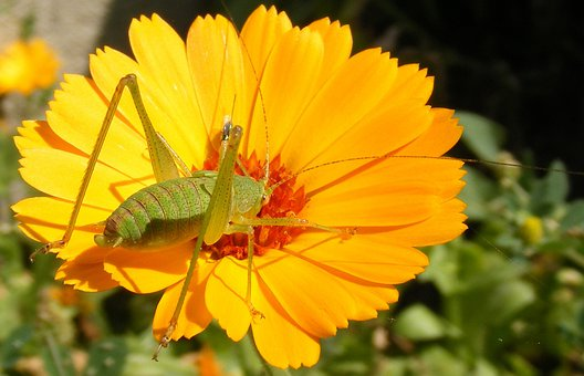 Caelifera, Close-up, Flower, Grasshopper, Orthopteraa