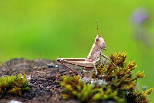 Field Grasshopper, Chorthippus Parallelus, Grasshopper