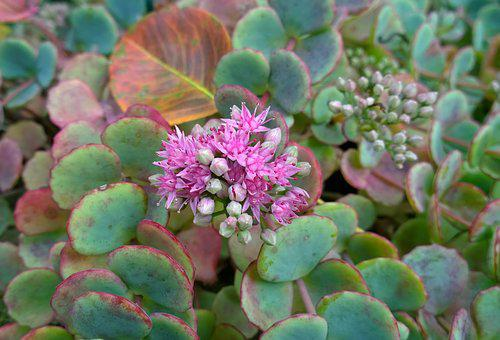 Autumn, Hysteresis Flower, October Stonecrop, Blooms At