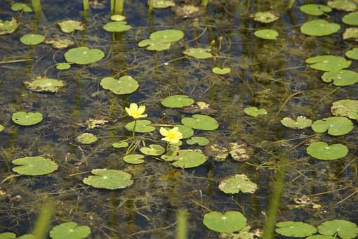 Aquatic Plants, Water Lilies, Lily Pad, Fouling, Bloom