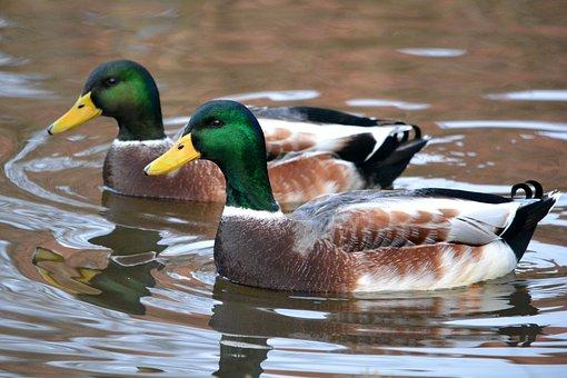 Ducks, Birds, Nature, Pond, Animals, Duck, Twins