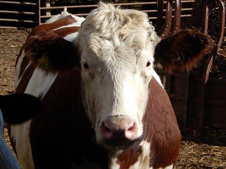 Red Holstein Steer, Beef, Cow, Cattle, Farm, Mammal
