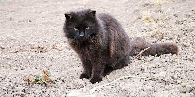 Tomcat, Black, Country, Lumps, Field, Strawberry