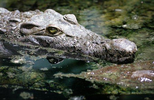 Crocodile, Alligator, Reptile, Zoo, Animal, Tooth
