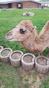 Camel, Animal, Farm, Head
