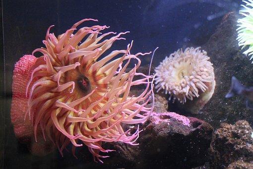 Anemone, Tank, Aquarium, Sea, Reef, Underwater, Coral
