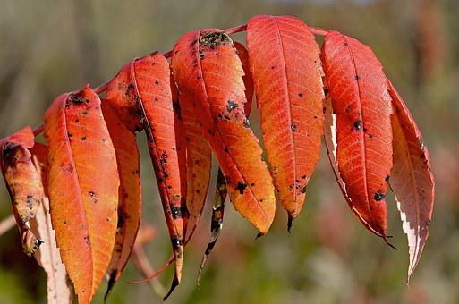 Staghorn, Sumac, Red, Leaves, Nature, Autumn, Foliage