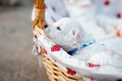 Bichon, Puppy, Pets, Baby, New Students