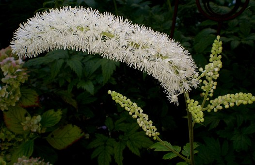 Black Cohosh, Garden, Flower Autumn, Park, Art, Buds