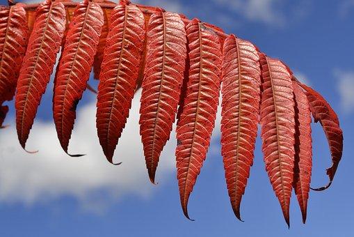 Staghorn, Sumac, Leaves, Autumn, Plant, Foliage, Leaf