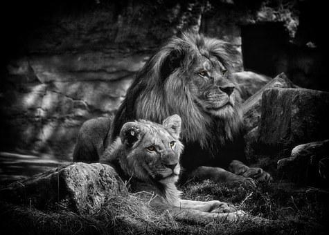 Lion, Bw, Animals, Predator, Africa, Black White, Zoo