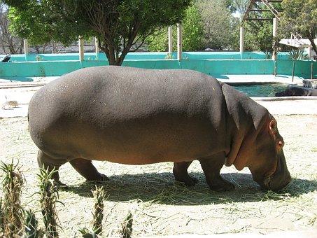 Hippopotamus, Zoo, Wameroo, Queretaro