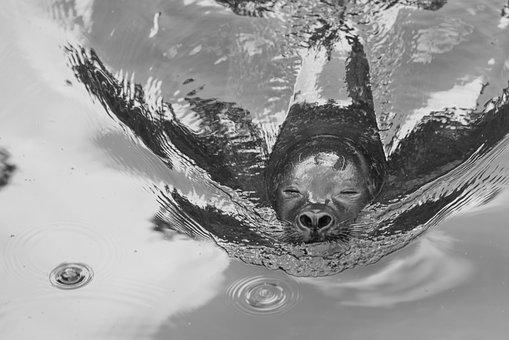 Robbe, Sea Lion, Seal, Animal, Meeresbewohner, Creature