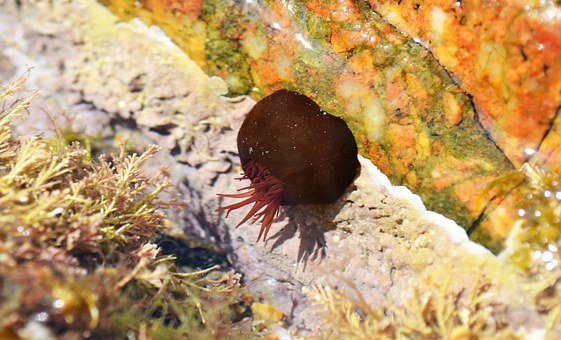 Beadlet Anemone, Anemone, Actinia Equina, Sea, Creature
