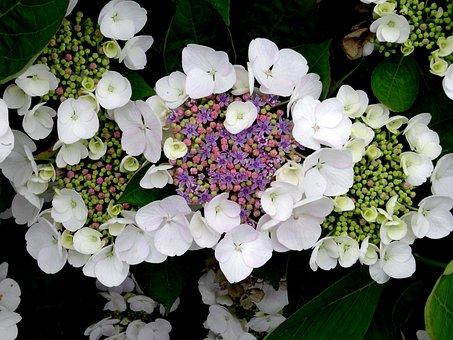 Blossom, Bloom, Hydrangea, Bee, Close, White, Blue