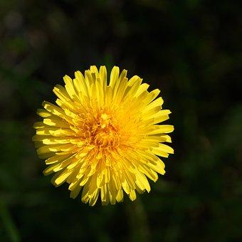 Dandelion, Taraxacum Officinale, Flower, Yellow Flower
