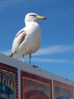 Seagull, Bird, Brighton, Pier, Seaside, Sussex