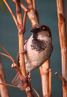 Sparrow, Birds, Fauna, Section, Tree
