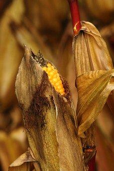 Corn On The Cob, Corn, Corn Grain, Grain, Field