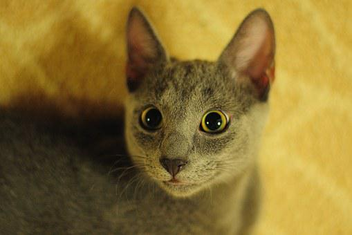 Cat, Russian Blue, Animal, Cat Person, Snout, Cute