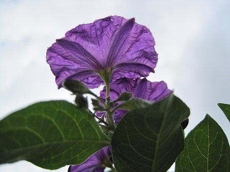 Potato Bush Flower, Flower, Purple, Delicate