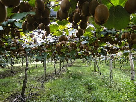 Kiwis, Kiwi Plantation, Green Kiwi, Hayward, Fruit