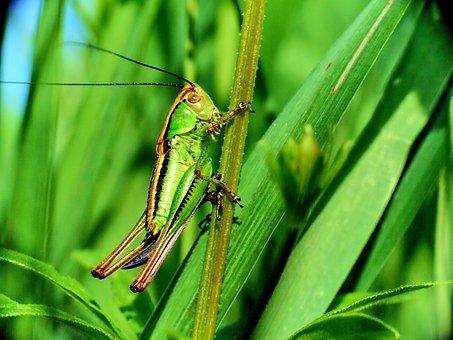 Macro, Grasshopper, Insect, Green, Grass, Meadow Grass