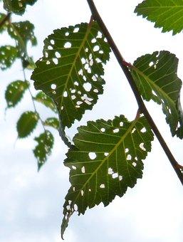 Leaves, Plague, Disease, Holes, Trees, Ill