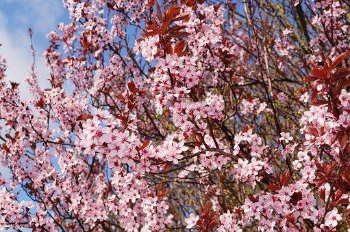 Cherry Plum, Cherry Blossom, Prunus Cerasifera, Nigra