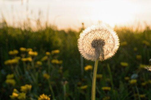 Dandelion, Spring, Meadow, Pointed Flower, Back Light