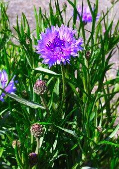 Cornflower, Purple, Flowers, Red Purple, Blue-violet