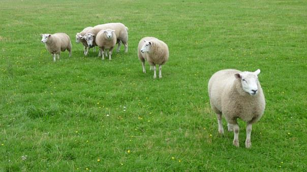 Sheep, Salt Marshes, Sylt
