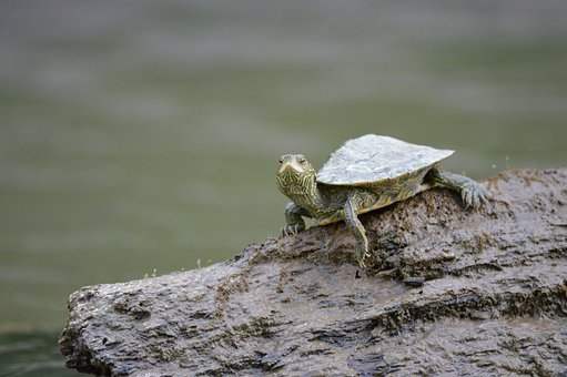 Turtle, Log, River, Water, Stream, Nature, Shell