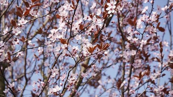 Prunus, Cerasifera, Pink, Blossom, Bloom, Spring, Bloom