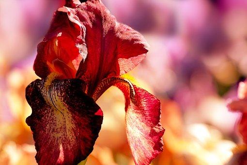 Flower, Garden, Summer, Spring, Nature, Flora, Blossom