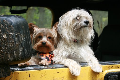 Dogs, Car, Looking, Canine, Friends, Vehicle, Trip