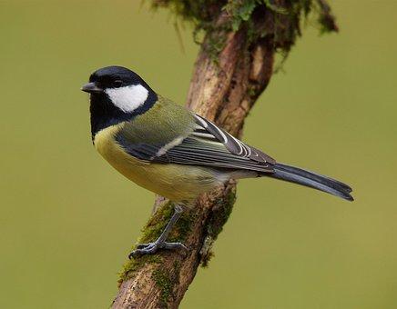 Tit, Mouse, Sword, Volatile, Bird, Beak, Fauna