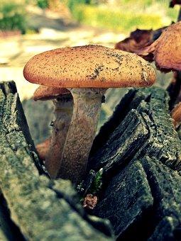 Mushroom, Log, Wood, Nature, Forest, Tree, Tree Fungus