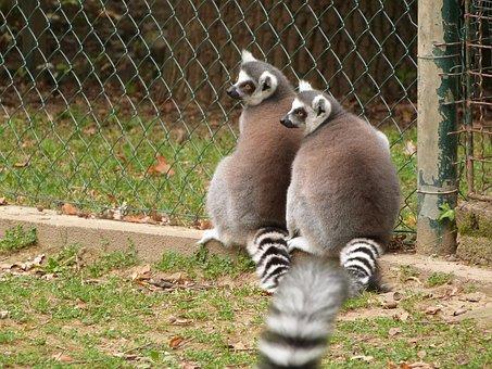 Lemur, Zoo, Animal, Mammal, Wild, Monkey, Wildlife