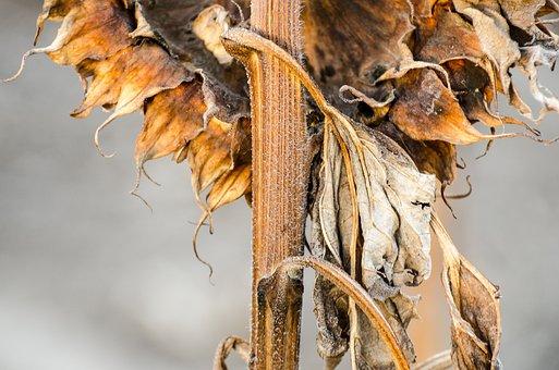 Sunflowers, Fall, Harvest Season, Browned, Crinkle