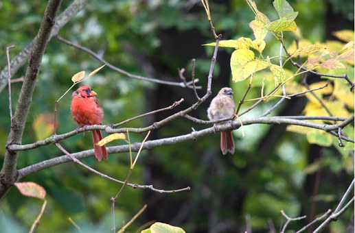 Red Birds, Birds, Cardinals, Wildlife, Nature