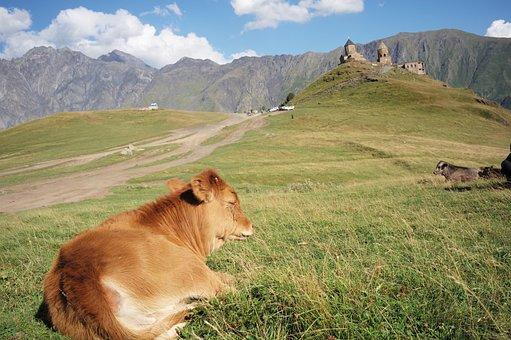 Cardinals Slash, Cow, Church, Mountain, Nature